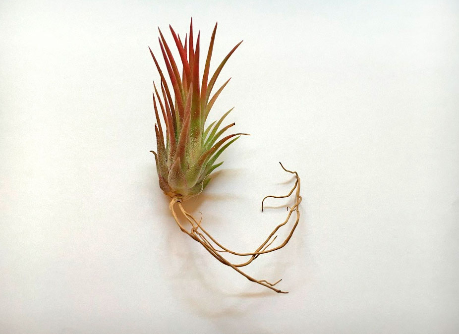 Ionantha Fuego that has grown roots