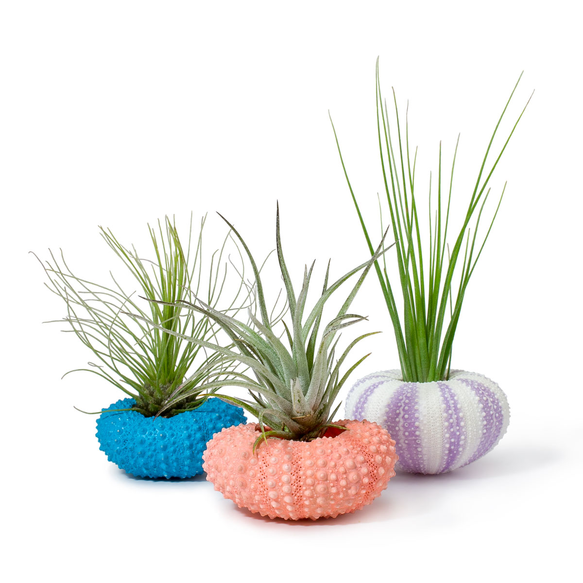 Beach Scene. Air Plants + Urchin Shells Planters